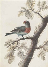 a bird, probably a bullfinch, on a pine branch by christoph ludwig agricola