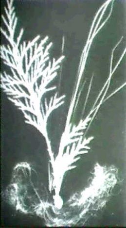 ferns stems and angel hair early 20th century by claude tolmer