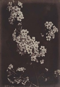 cherry blossom by charles aubry