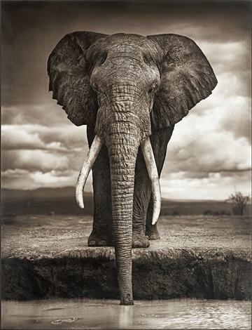 elephant drinking amboseli by nick brandt