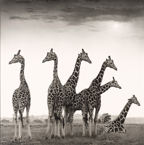 giraffe fan aberdares by nick brandt