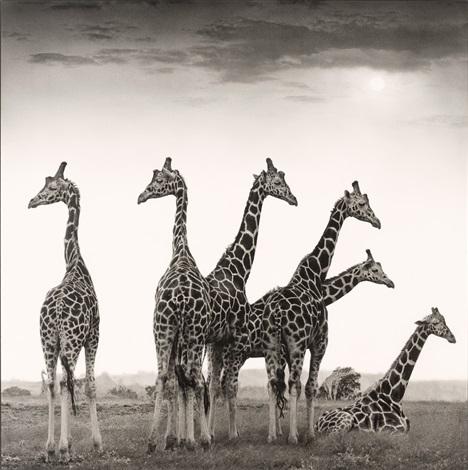 giraffe fan aberdares by nick brandt