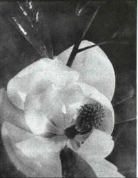 magnolia by floyd b. evans