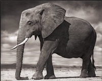 young elephant resting, amboseli by nick brandt