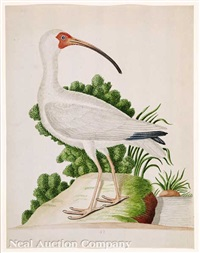 white or red bill curlew by john abbot