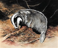 badger feeding by richard ward