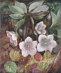 a christmas rose or hellebore by albert durer lucas