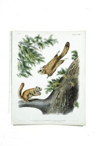 severn river flying squirrels print by john woodhouse audubon