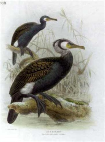 ornithological studies by johannes gerardus keulemans