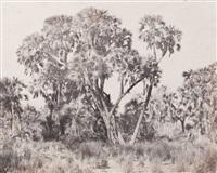 haute egypte. palmiers doums by maxime du camp