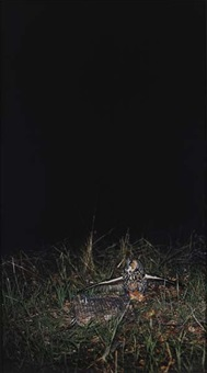 untitled (asio otus, long-eared owl caught in bal-chatri trap) by kelly poe