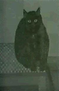 le chat noir by albert (januarius di decarli) decarli