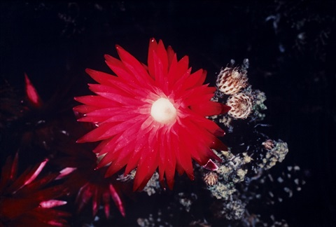 flower of higanbana from the series the flowers from the other world by nobuyoshi araki