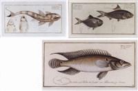 specium, fish, pl.309 by johann friedrich hennig