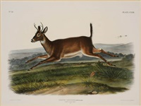 long-tailed deer, pl. cxviii (from the viviparous quadrupeds of north america) by john woodhouse audubon