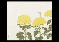 chrysanthemum by kenji yoshioka