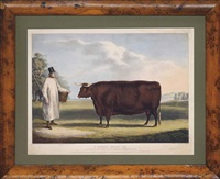 a north devon ox, bred and fed by the rt. hon. earl of leicester, of holkham hall, norfolk by william henry davis