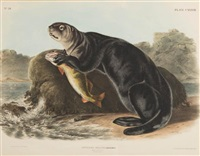 sea otter, young male by john woodhouse audubon