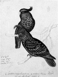 gang-gang cockatoos by heinrich gottlieb reichenbach