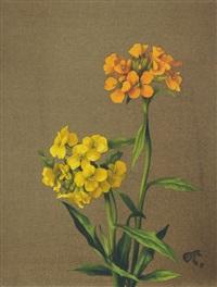 orangefarbener und gelber goldlack (erysimum cheiri) by willy kriegel
