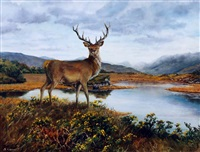 highland stag by sarah corner