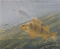 perch feeding on minnows by david miller