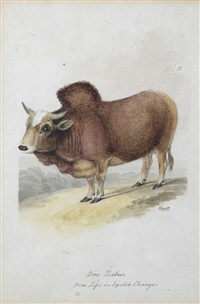 bos taurus; bos zebu from life in exeter change (2 works) by william samuel howitt