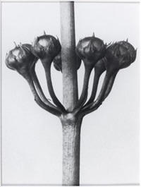 sans titre (after karl blossfeld: 19) by sherrie levine