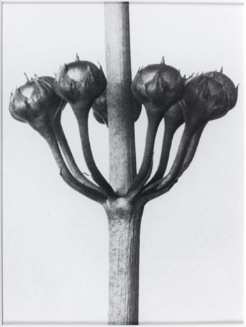 sans titre after karl blossfeld 19 by sherrie levine