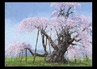 cherry blossoms by shigeo ishikawa