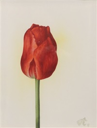 rote tulpe by willy kriegel