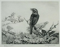 study of a sedge warbler by winifred marie louise austen