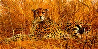 cheetah lying in the long grass by matthew hillier