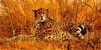 cheetah lying in the long grass by matthew hillier