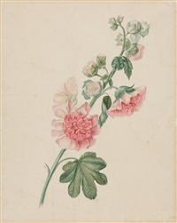 roséfarbene stockrose by jan van der waarden