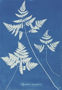 polypodium dryopteris by anna atkins