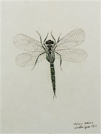 detailed botanical image of a dragonfly labelled libelusa caesaio (??) by walter spies