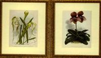 linderia: iconographie des orchidées (suite of 4) by jean jules linden