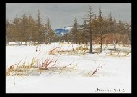japanese larch in the snow by shoichiro nushi