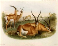 the book of antelopes by philip lutley sclater