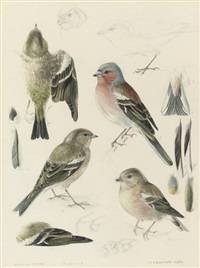 chaffinches (study) by mildred eldridge