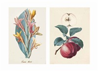 study of an apple; study of a peach; study of a maire guisse pear; a study of canna annei (4 works) by alfred riocreux