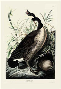 canada goose - branta canadensis, pl. cci (+ wild turkey - mealeagris gallapavo, pl.vi; 2 works after john james audubon) by robert havell ii and william home lizars