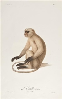 simia entellus; simia nemestrina; simia sphinx; simia sabaea (4 works) by jean-baptiste audebert