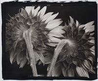 sunflowers #52 by frank hunter