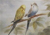 blue and ellow budgerigars (study) by winifred marie louise austen