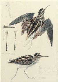 a snipe (study) by mildred eldridge