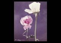 rose (set of 3) by shotaro akiyama