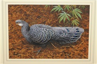 peacock pheasant walking amongst vegetation by rodger mcphail