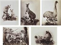 australian opossum; australian kangaroo; australian emu; lyre birds; australian laughing jackass (5 works) by henry king